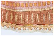 La jupe de Mélusine, détail.